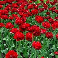 Красные тюльпаны :: Сергей Карачин