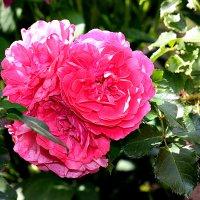 Любуйтесь со мной на плетистые розы... :: Nina Karyuk