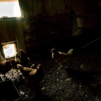 Жили у бабулечки рыженькие курочки :: Ирина Данилова