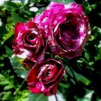 Молодая роза . :: Мила Бовкун