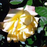 Жёлтая роза. :: Мила Бовкун