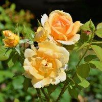 Розы :: Константин Анисимов