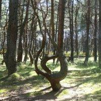 """В """"танцующем"""" лесу. :: Зоя Чария"""