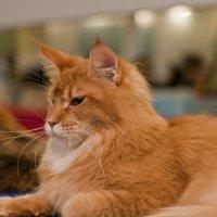 Рыжий кот на выставке :: Ольга Винницкая (Olenka)