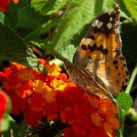 Бабочка :: Александр Деревяшкин