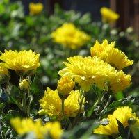 Многолетнюю мелкоцветковую хризантему в народе называют дубками :: Татьяна Смоляниченко
