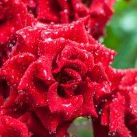 Розы после дождя :: Алексей Кузьмичев