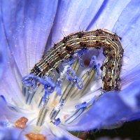 гусеница на цикории IMG_9995 :: Олег Петрушин