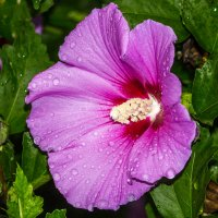 сирийская роза IMG_9919 :: Олег Петрушин
