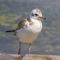 Птенец чайки (2). :: Александр Романов