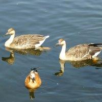 Птицы на пруду :: Лидия Бусурина