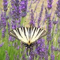 Бабочка красавица :: Наталья (D.Nat@lia)