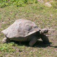 Галапагосская черепаха. :: Геннадий Порохов