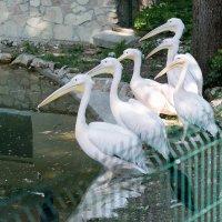 Пеликаны. :: Геннадий Порохов