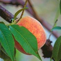 «Персидское яблоко», :: barsuk lesnoi