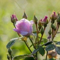 Канадская роза :: Нина Кутина
