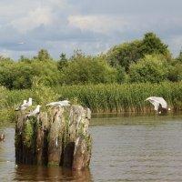 Белые чайки над тихой водой. :: Галина .