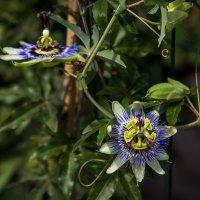 Цветы с сада :: Игорь Федоровский