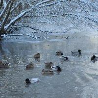 Утки зимой :: Милана Гиличенски