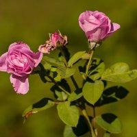 """Летние розы :: Николай """""""