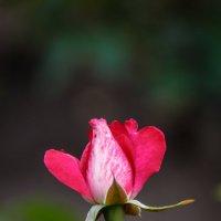 «   В бутоне розы – бесконечность, И нежных лепестков харизма ,…» :: Андрей Нибылица