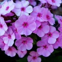 Розовый флокс. :: Антонина Гугаева