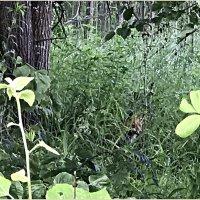 Лисёнок наблюдает, как мы собираем грибы.:) :: Валерия Комова