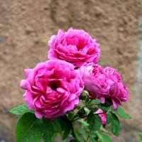 Розы. :: Антонина Гугаева