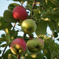 """""""Молодильные"""" яблоки. :: barsuk lesnoi"""