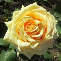 Солнечная роза :: Ольга Довженко