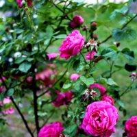 Розовое семейство. :: Антонина Гугаева