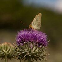 Крымские бабочки :: Марина Назарова