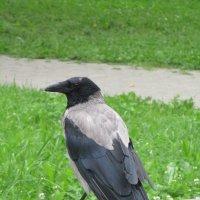 Ворона.. :: Зинаида