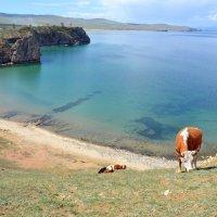 Бесстрашные коровы :: Ольга