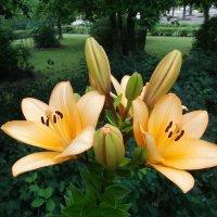 Две лилии. :: VasiLina *