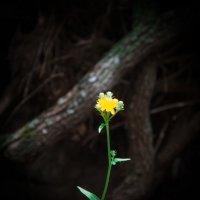 желтенький цветочек :: Олег