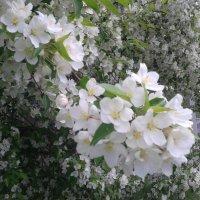 Яблоня в цвету :: Игорь Гагилев