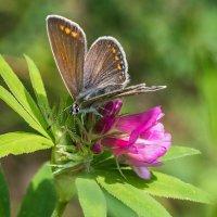 Бабочка на цветке :: Анатолий Володин