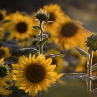 От подсолнечного поля Льётся тихий свет..... :: Лиана Краснопольская .
