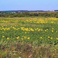 Зелень и желтизна цветущего подсолнуха :: Юрий Стародубцев