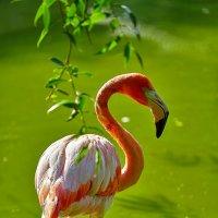 Фламинго. :: Виктор Шпаков