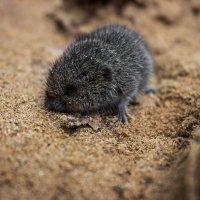 Мышь :: Антон Никушин