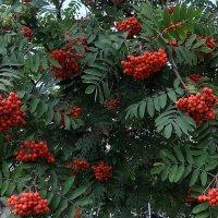Рябина гроздьями из алых ягод выткала наряд. :: Люба