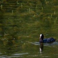 Лысуха на озере :: Сергей Цветков