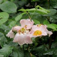 Шиповник под дождём :: Нина Бутко