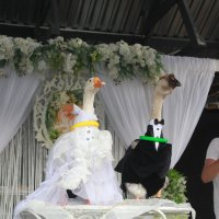 Свадьба гусей :: Светлана З