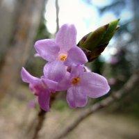 Цветы Адыгеи :: Сергей Карачин