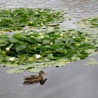 На Травинском озере в Подмосковье :: Ольга Довженко