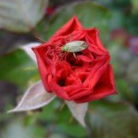 Вот такой бледный кавалер у яркой розы! :: Люба