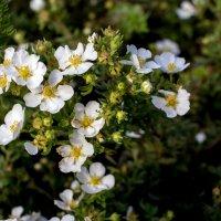 Цветы августа :: Лидия Суюрова